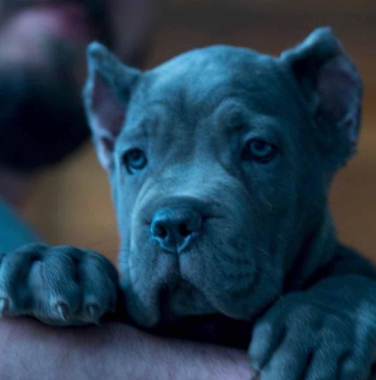 Rietcorso kopen in colonia Duitsland en rietcorso puppies te koop in colonia duitsland