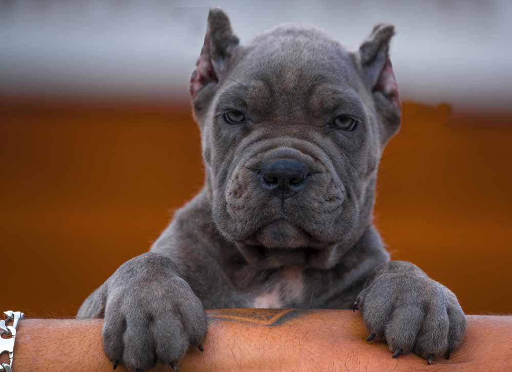 Rietcorso kopen in colonia Duitsland en rietcorso puppies te koop in colonia duitsland4