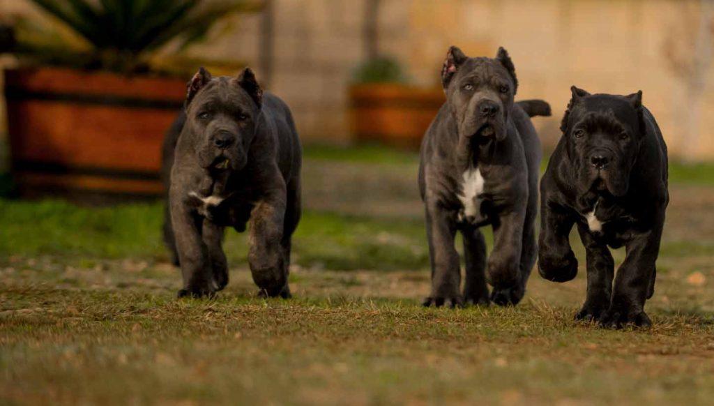 comprar cane corso en Buenos Aires Argentina y venta de cachorros de cane corso y criador de cane corso