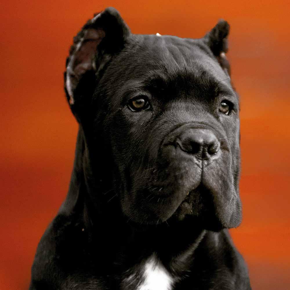 comprar cane corso en Buenos Aires Argentina y venta de cachorros de cane corso y criador de cane corso3