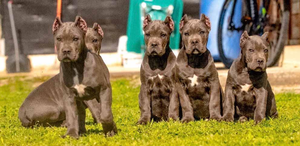 comprar cane corso en Buenos Aires Argentina y venta de cachorros de cane corso y criador de cane corso7