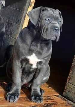 comprar cane corso en San jose Costa rica y Venta de cachorros de cane corso en San Jose Costa rica3
