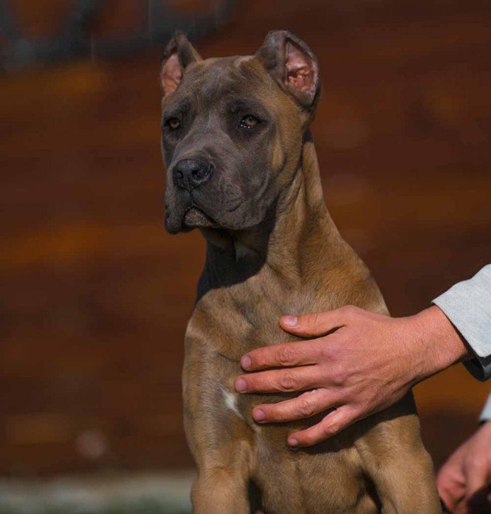 comprar cane corso en Tijuana Mexico y venta de cachorros de cane corso y criador de cane corso Mexico