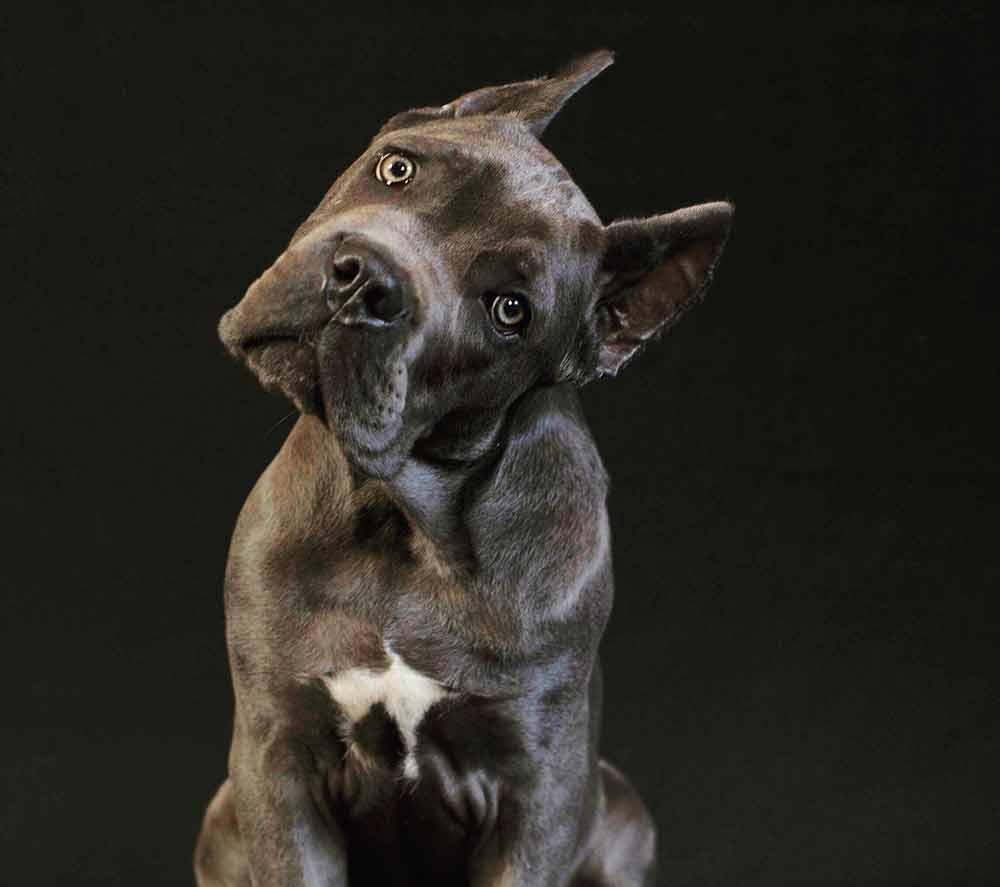 comprar cane corso en Tijuana Mexico y venta de cachorros de cane corso y criador de cane corso Mexico2
