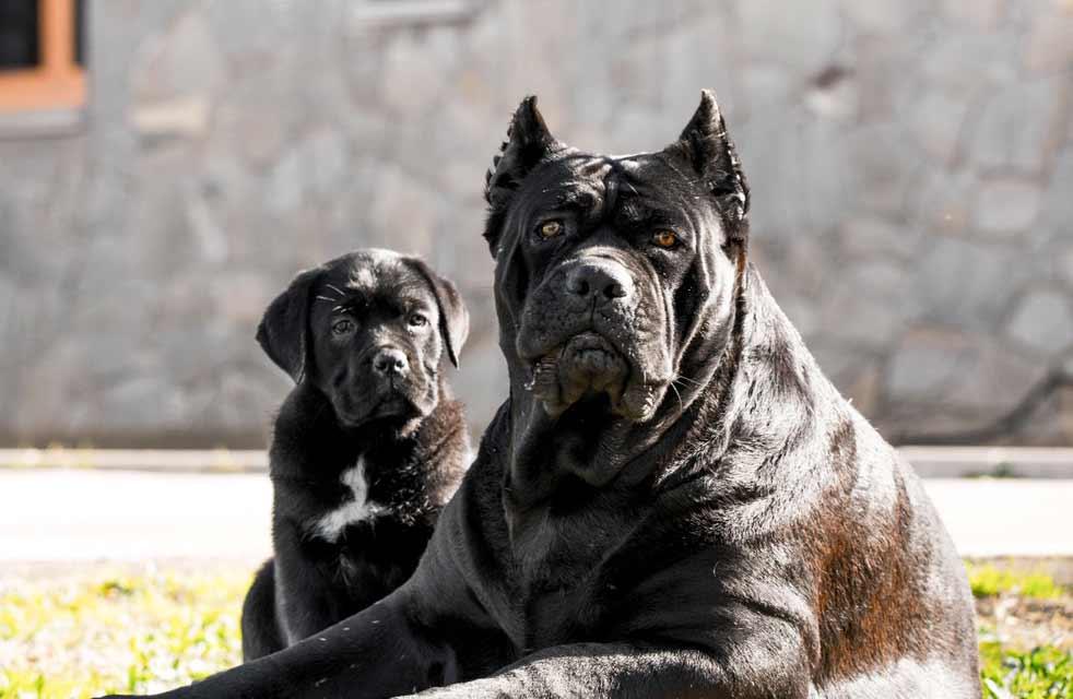 comprar cane corso en panama y venta de cachorros de cane corso en panama y criadores en panama