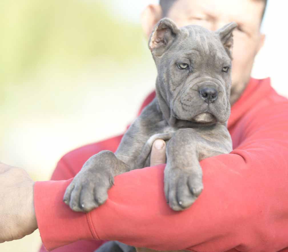 criadores de cane corso en mexico y comprar cane corso en mexico y venta de cachorros en Mexico df5