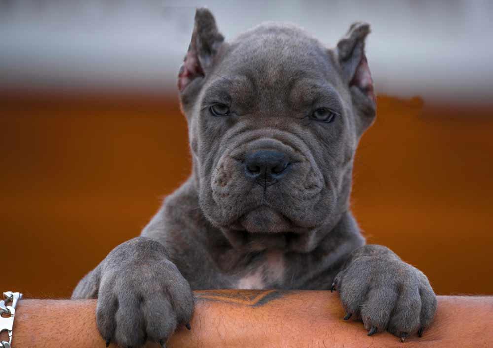 Acheter cane corso à nice et vente de chiots cane corso à Nice France2