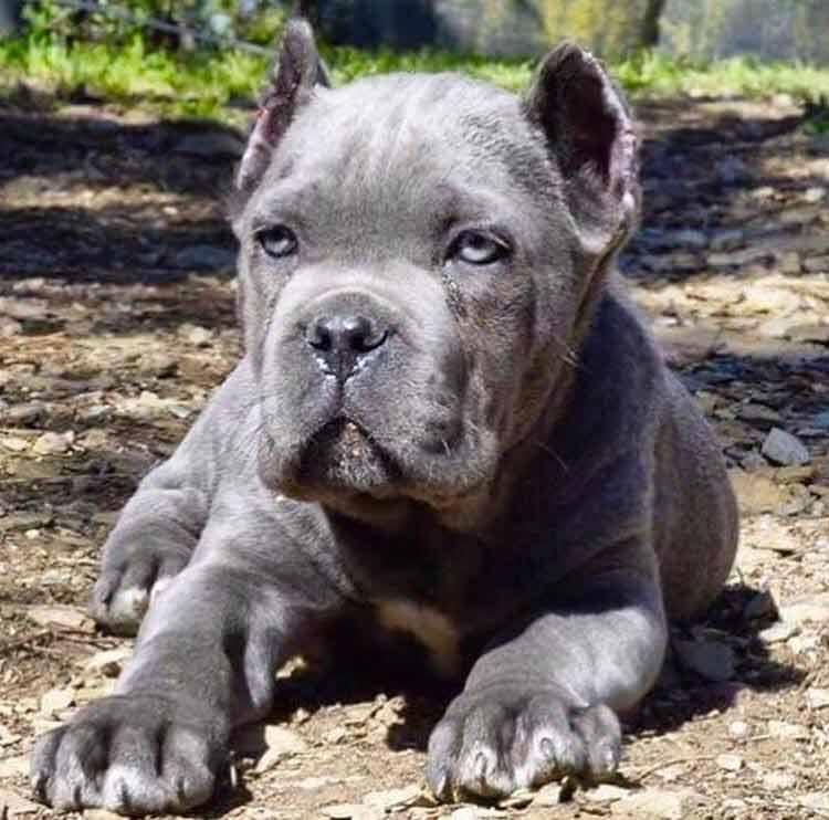Acheter cane corso à nice et vente de chiots cane corso à Nice France3