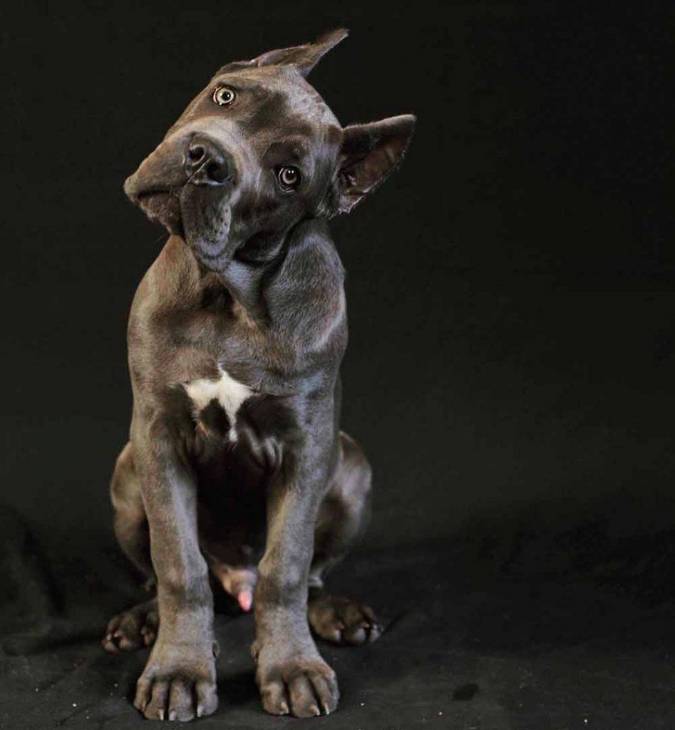 Buy cane corso en Rio de Janeiro Brasil comprar cane corso em rio de janeiro brasil