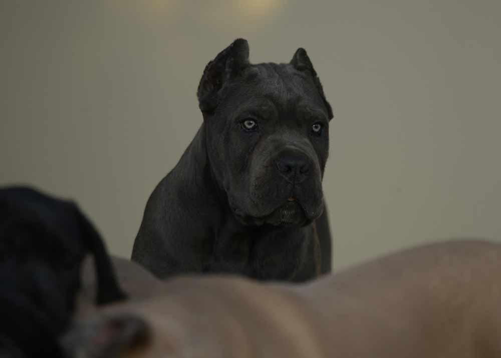 Buy cane corso en Rio de Janeiro Brasil comprar cane corso em rio de janeiro brasil4