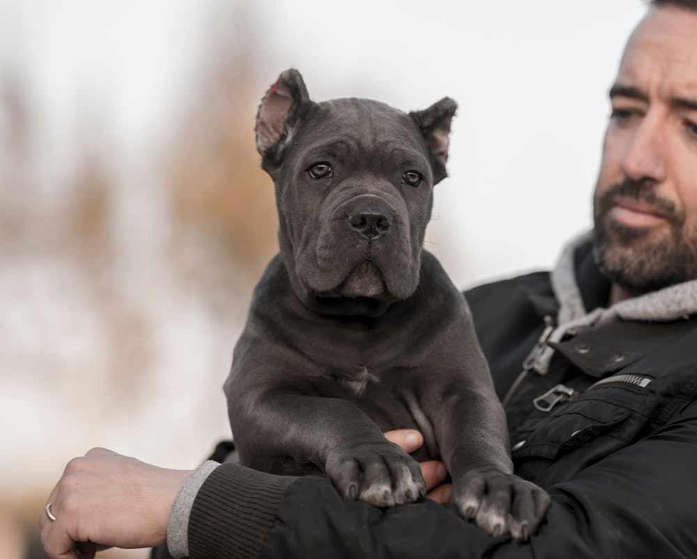 Buy cane corso in Dortmund Germany and puppies rietcorso kopen in Dortmund Duitsland en verkoop van rietcorsopuppies