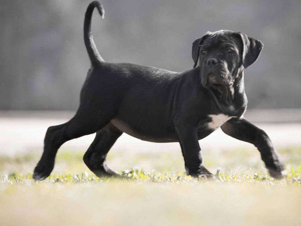 Buy cane corso in Dortmund Germany and puppies rietcorso kopen in Dortmund Duitsland en verkoop van rietcorsopuppies2