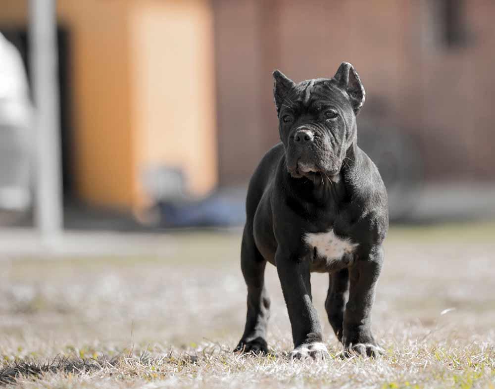 Buy cane corso in Dortmund Germany and puppies rietcorso kopen in Dortmund Duitsland en verkoop van rietcorsopuppies3