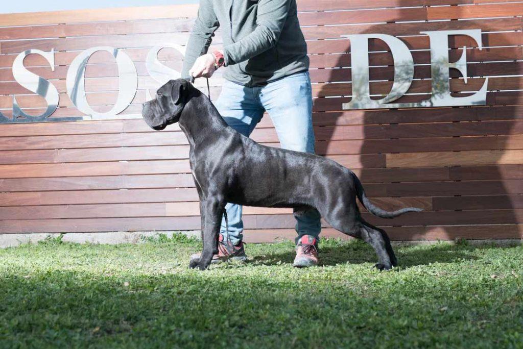 Comprar cane corso en Ciudad de Mexico y venta de cachorros de cane corso en Ciudad de Mexico