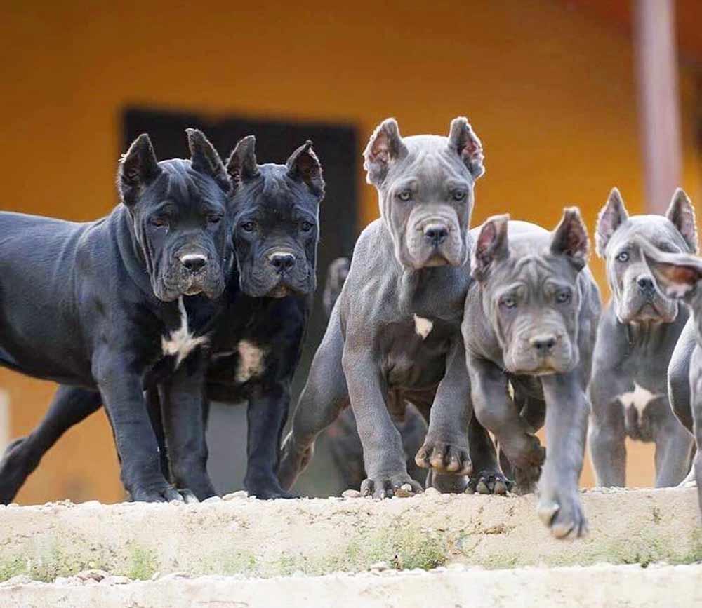 Comprar cane corso en Ciudad de Mexico y venta de cachorros de cane corso en Ciudad de Mexico22