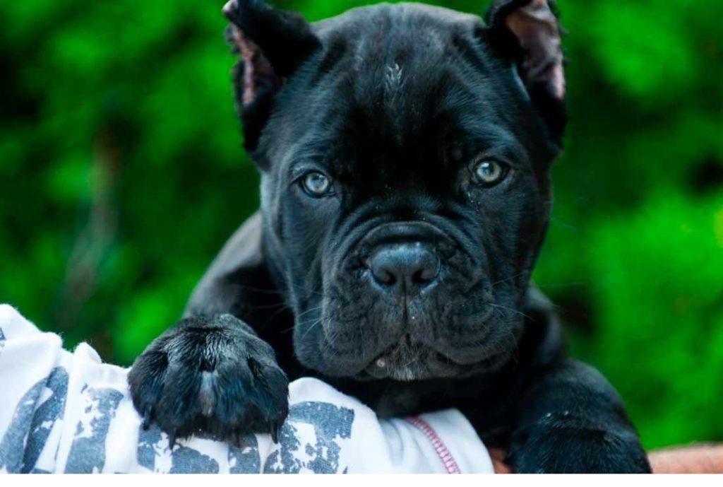 acheter cane corso à Paris france et vente de cane corso chiots en france1