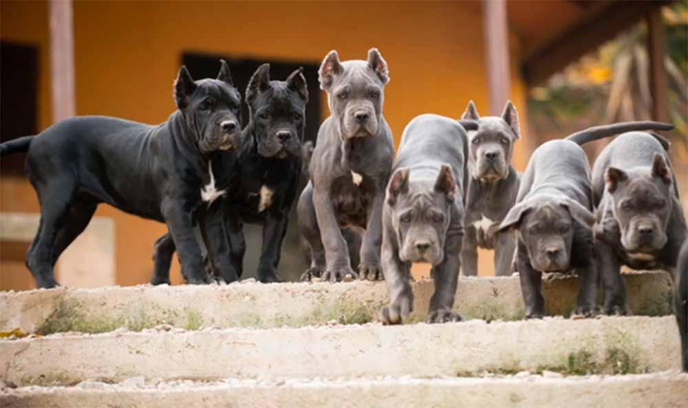 acheter cane corso à Paris france et vente de cane corso chiots en france3
