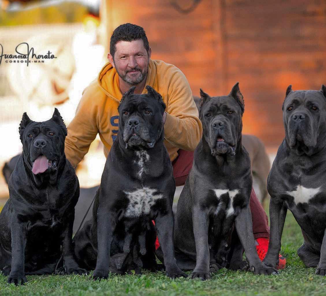 acheter cane corso à bordeaux et vente de cane corso chiots à bordeaux france1