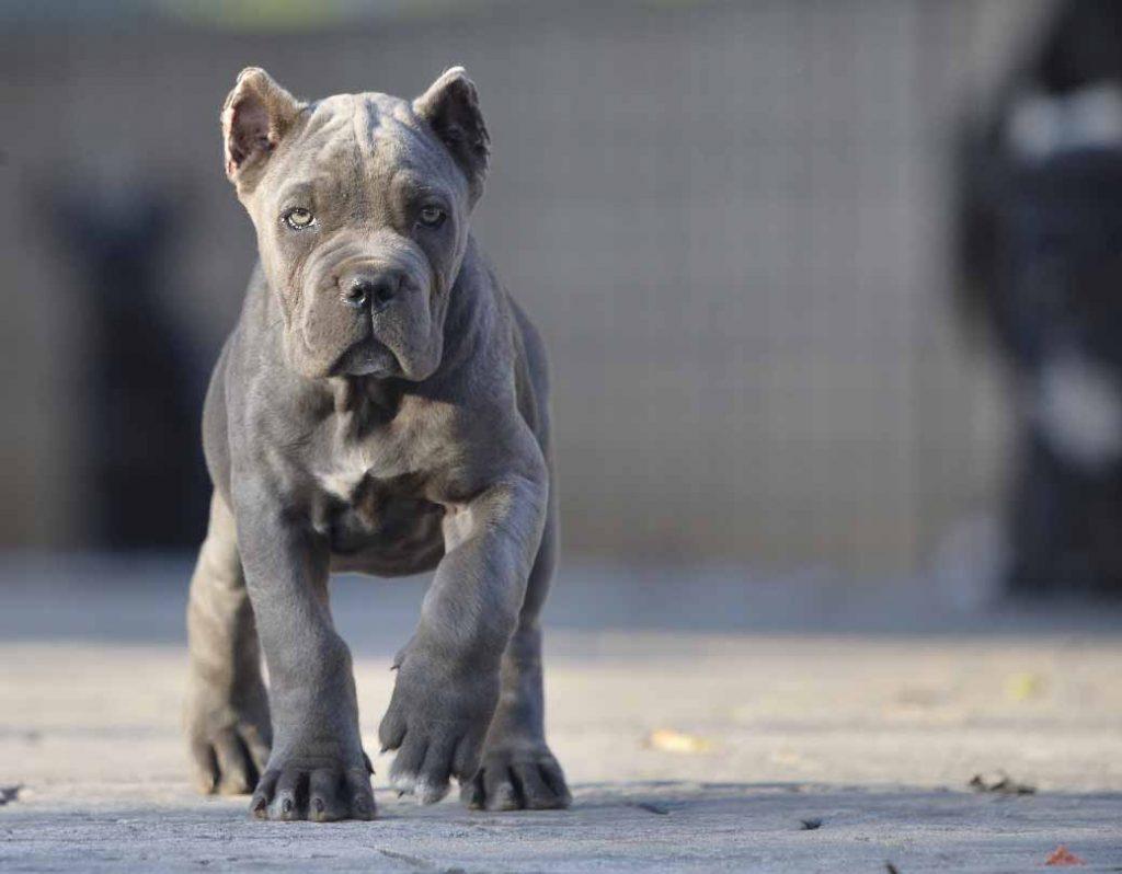 acheter cane corso à bordeaux et vente de cane corso chiots à bordeaux france3