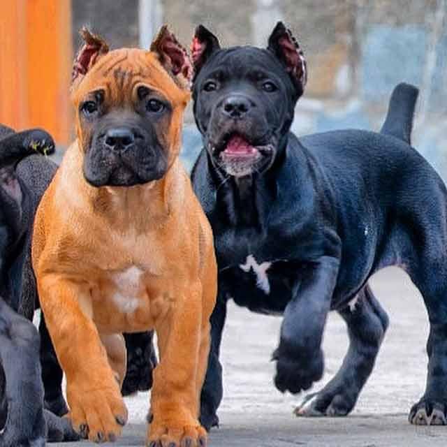 acheter cane corso à cannnes et vente de chiots cane corso3