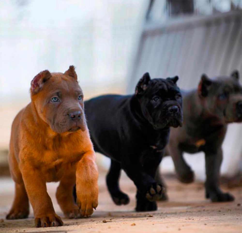 acheter cane corso à liege et vente de cane corso chiots à liege belgique1