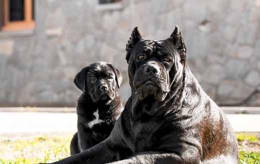 acheter cane corso à liege et vente de cane corso chiots à liege belgique2