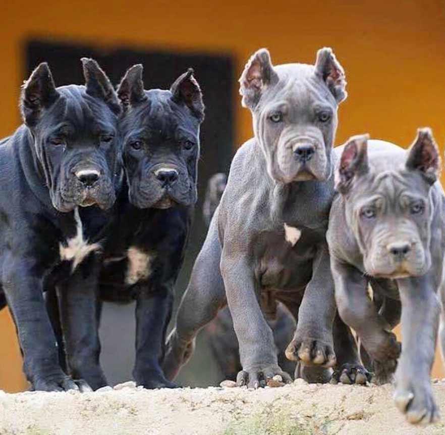 acheter cane corso à tolousse et vente de cane corso chiots à tolousse france3