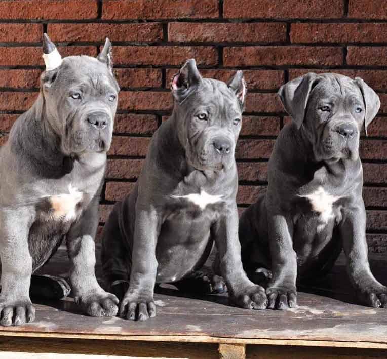 acheter cane corso à tolousse et vente de cane corso chiots à tolousse france4