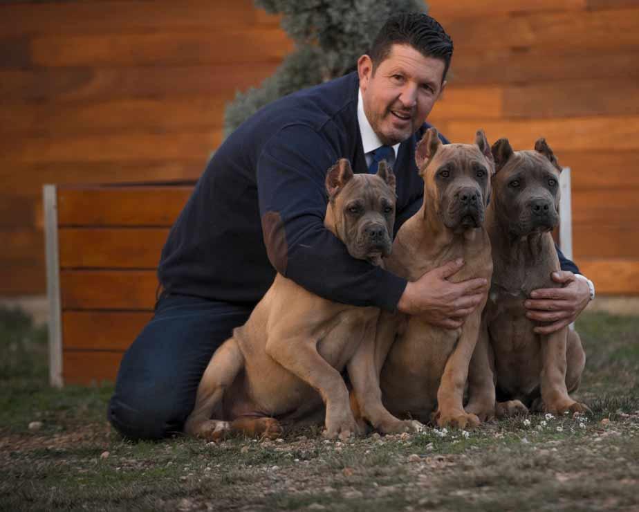 buy cane corso in Edmonton Alberta and acheter un corso de canne à Edmonton Alberta Canada2
