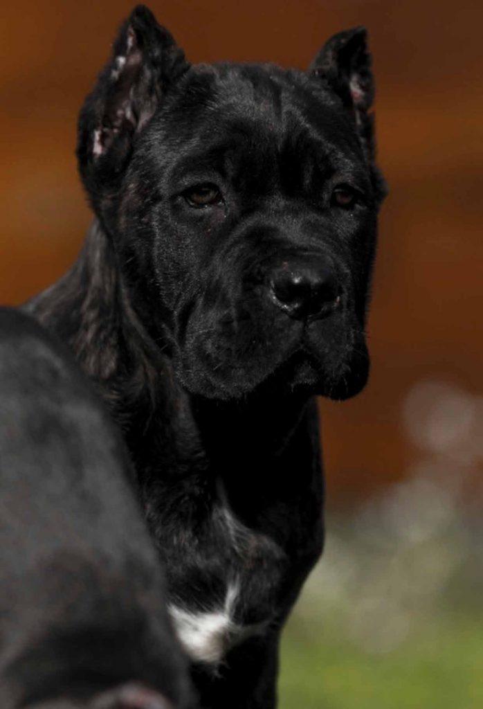 buy cane corso in Fortaleza Brazil and comprar filhotes de cane corso em fortaleza2