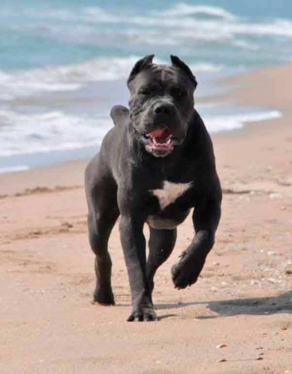 buy cane corso in Fortaleza Brazil and comprar filhotes de cane corso em fortaleza4