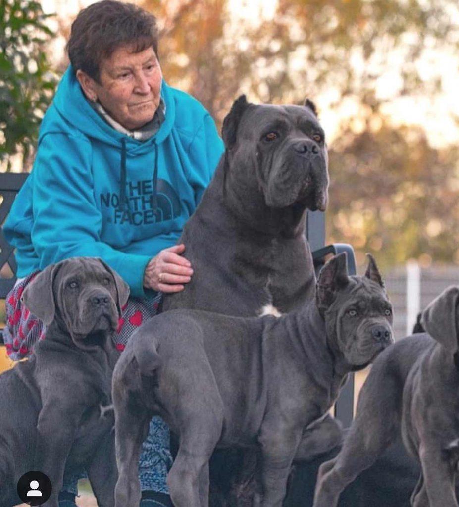 buy cane corso in Naukin china and for sale puppies cane corso in china 在Naukin中国购买甘蔗corso,在中国出售幼犬 Zài Naukin zhōngguó gòumǎi gānzhè corso, zài zhōngguó chūshòu yòu quǎn3