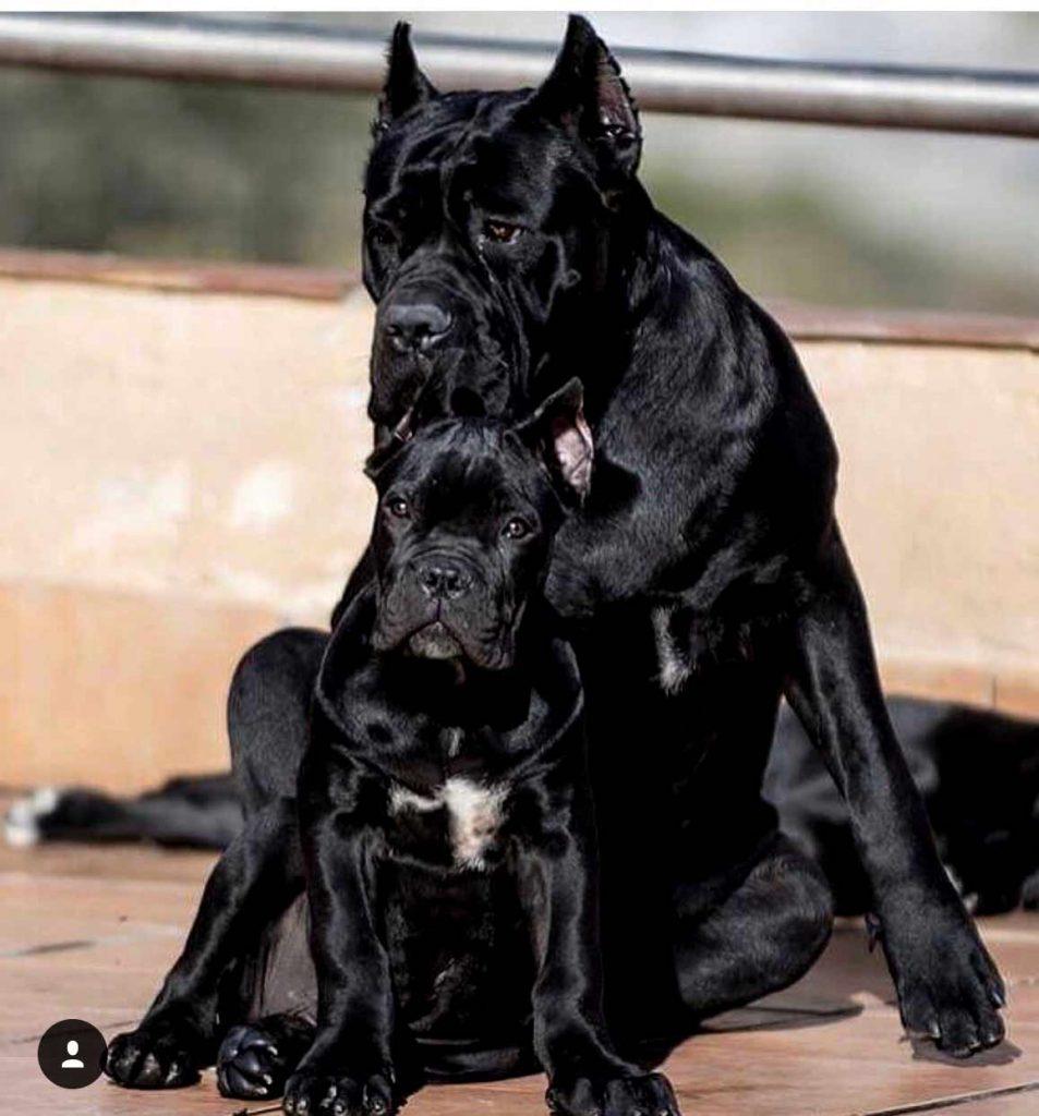 buy cane corso in Pekin 在中國北京購買甘蔗corso並出售甘蔗corso幼犬