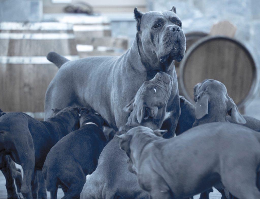 buy cane corso in Pekin 在中國北京購買甘蔗corso並出售甘蔗corso幼犬4