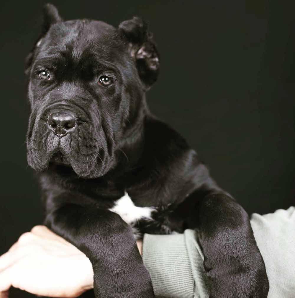 buy cane corso in Salvador de Bahia Brasil comprar cane corso em salvador da bahia brasil e filhotes de cane corso2