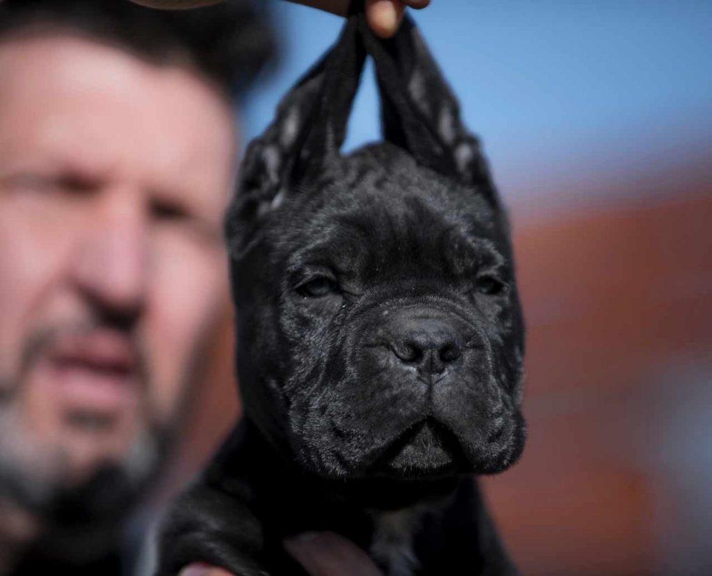 buy cane corso in minas de gerais Brazil comprar cane corso e filhotes em minas Gerais Belo horizonte-brasil2