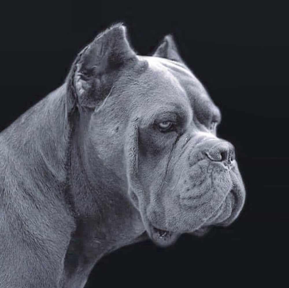 buy cane corso in minas de gerais Brazil comprar cane corso e filhotes em minas Gerais Belo horizonte-brasil4