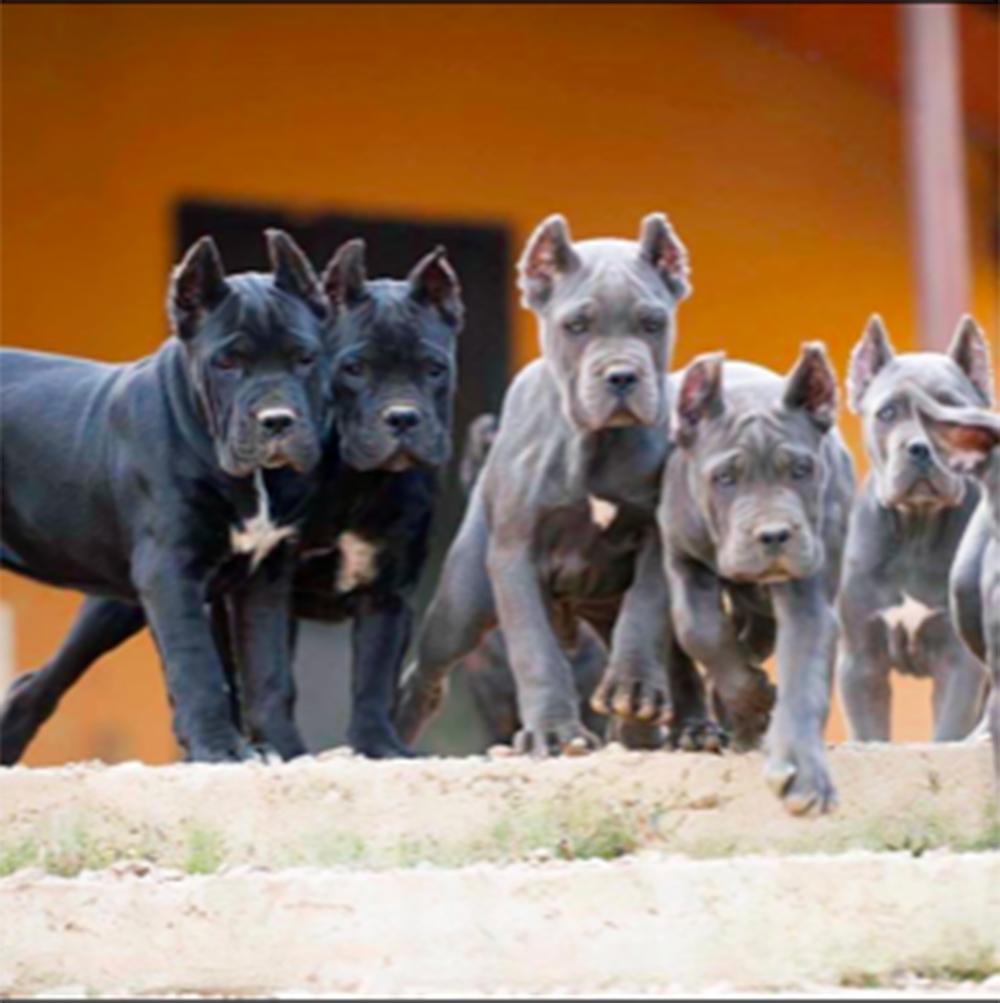 buy cane corso in shanghai 在上海購買Cane Corso並在中國銷售Cane Corso幼犬