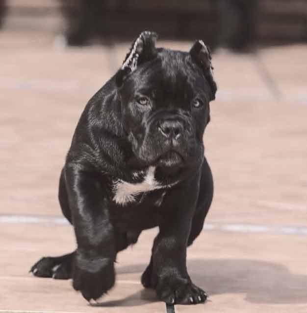 buy cane corso in stuttgart Germany rietcorso en rietcorsopuppies kopen in Stutgard Duitsland2