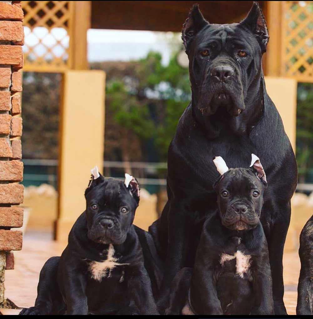buy cane corso in stuttgart Germany rietcorso en rietcorsopuppies kopen in Stutgard Duitsland3