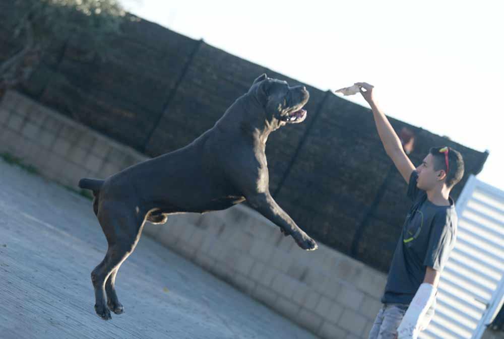 compra cane corso en Santo domingo Republica Dominicana y venta de los mejores cachorros de cane corso1