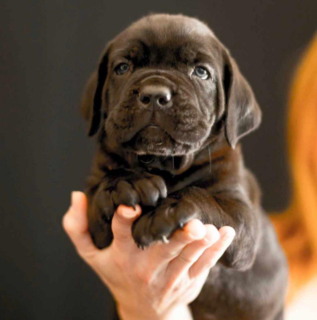 compra cane corso en Santo domingo Republica Dominicana y venta de los mejores cachorros de cane corso4