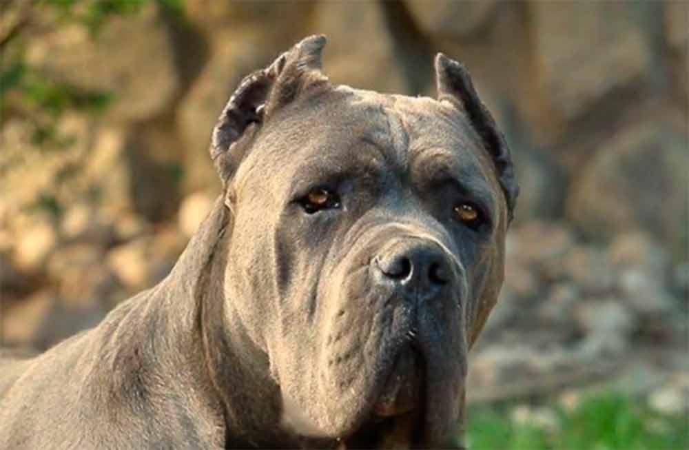 comprar cane corso en Bogota Colombia y venta de cachorros de cane corso en Bogota Colombia