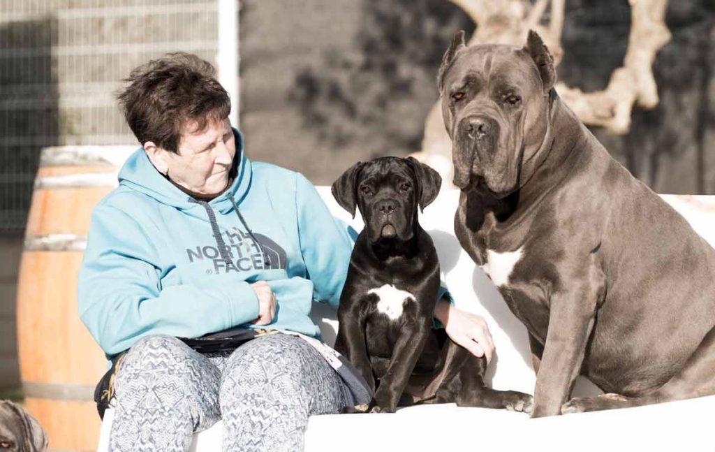 comprar cane corso en Bogota Colombia y venta de cachorros de cane corso en Bogota Colombia3