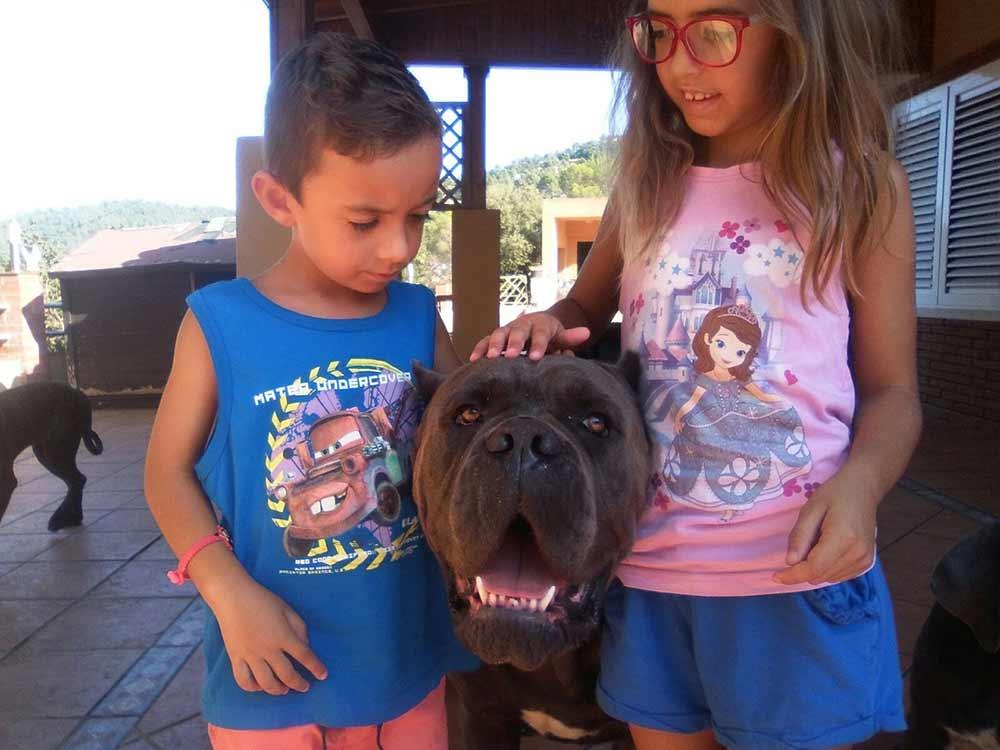 comprar cane corso en Bolivia y venta de cane corso en La paz Bolivia