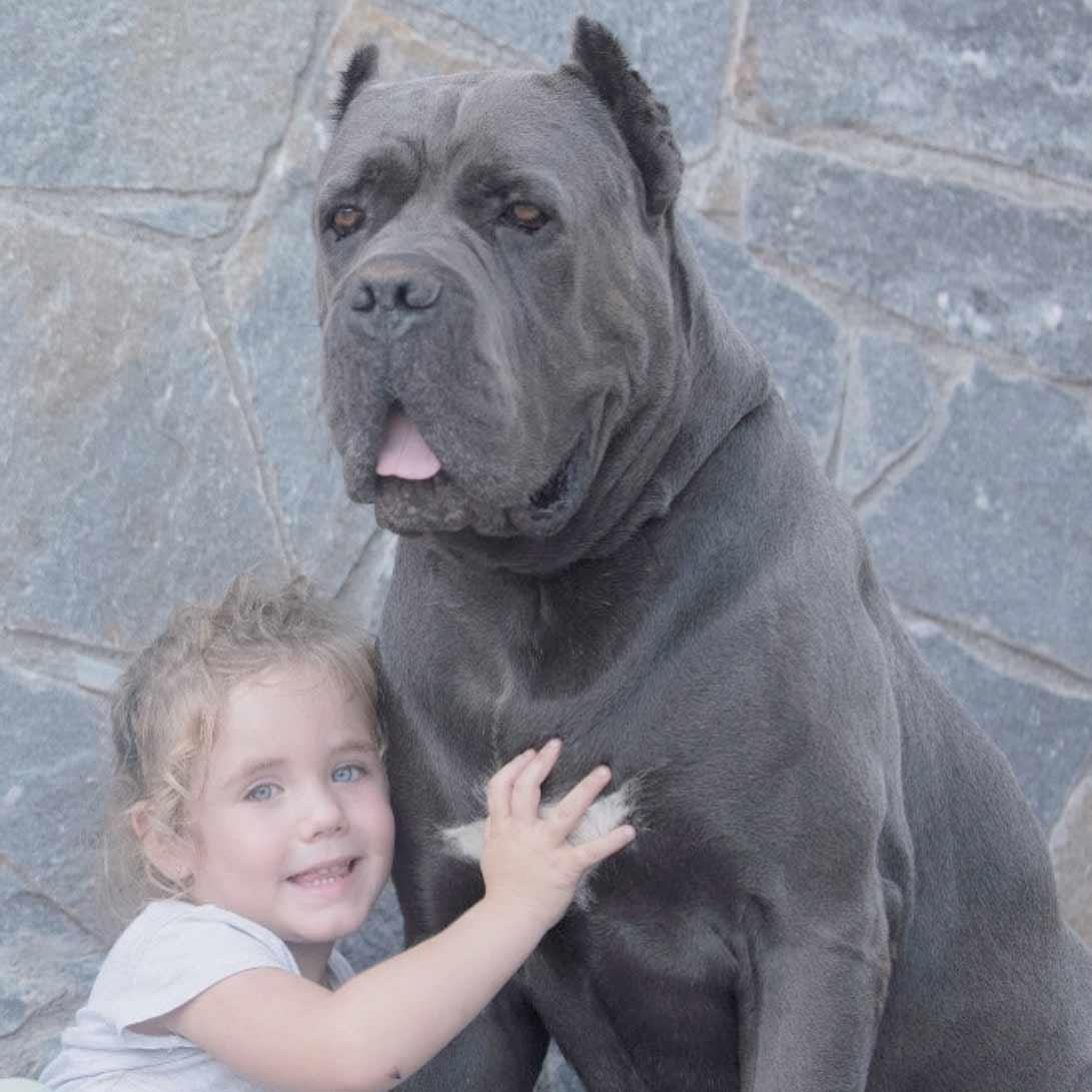 comprar cane corso en Bolivia y venta de cane corso en La paz Bolivia3