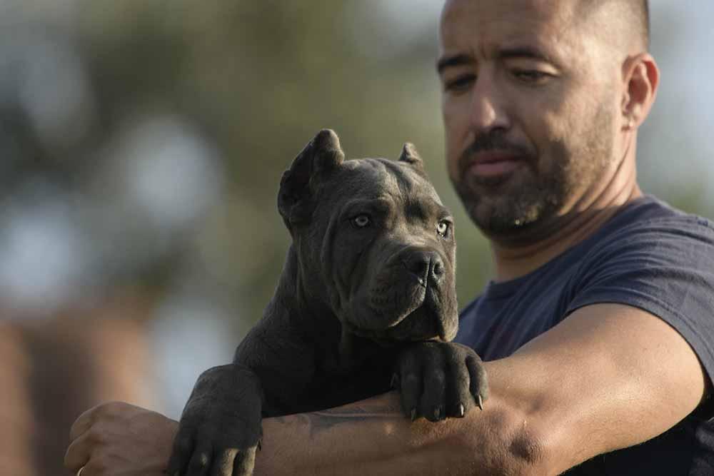 comprar cane corso en Bolivia y venta de cane corso en La paz Bolivia4
