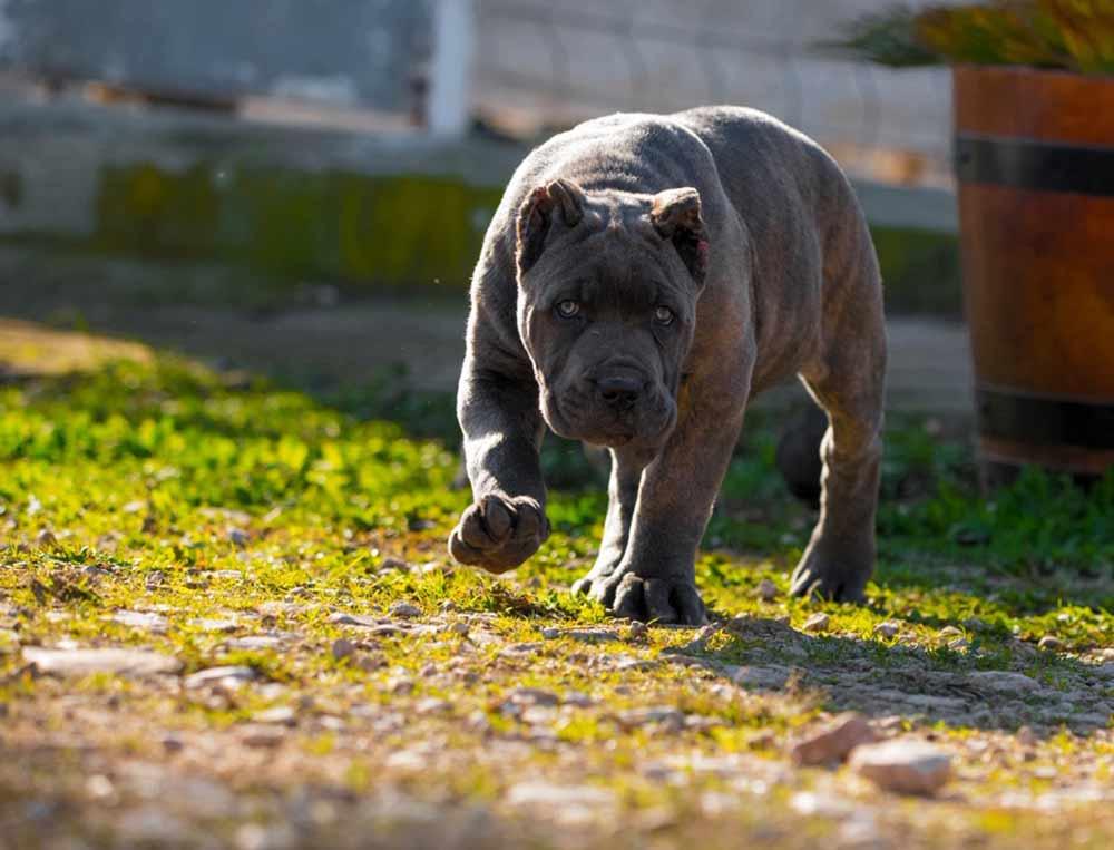 comprar cane corso en Caracas Venezuela y venta de cachorros de Cane corso