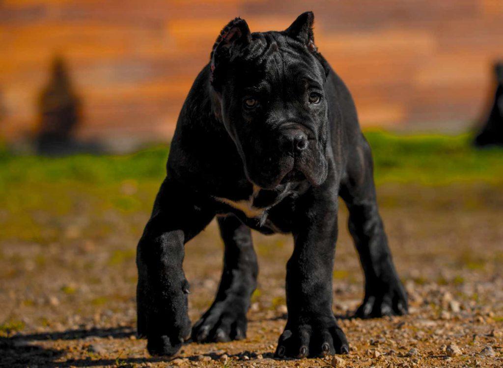 comprar cane corso en Caracas Venezuela y venta de cachorros de Cane corso1