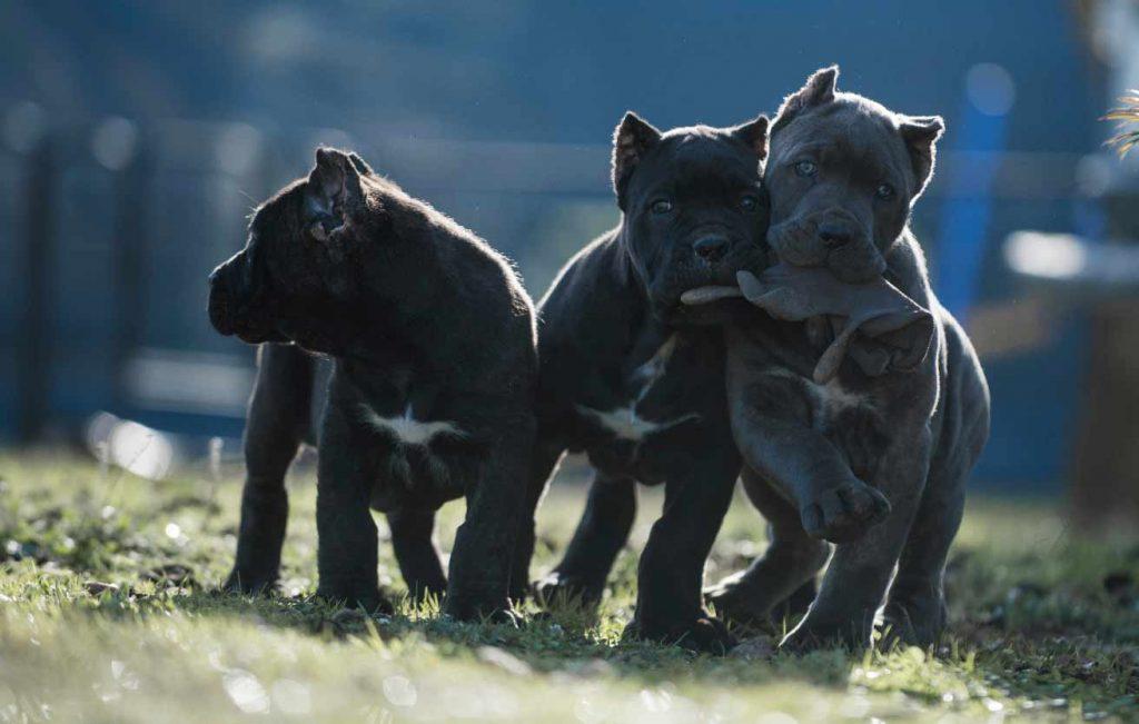 comprar cane corso en Caracas Venezuela y venta de cachorros de Cane corso2